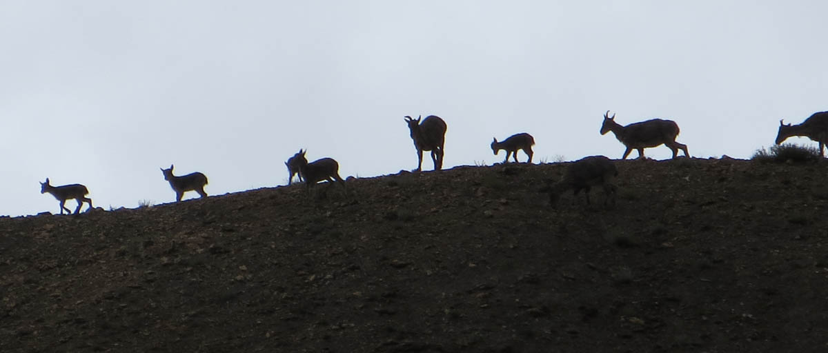 Blue Sheep on Ridge Ladakh